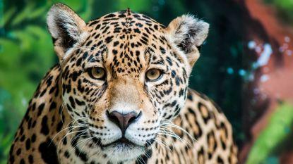 Geheime slachtpartijen blootgelegd: de Chinese jacht op jaguars, waarbij dieren op bestelling worden vermoord