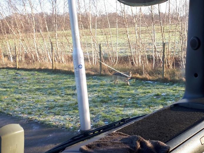 De wolf die Hans de Ruiter spotte vanuit zijn vrachtwagen.