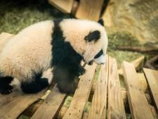 Schattig! Pandajong Fan Xing klimt en klautert in het buitenverblijf