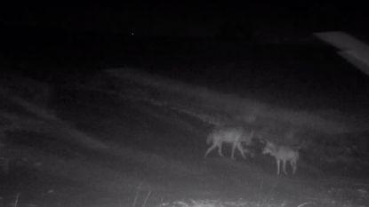 Binnenkort wolvenwelpjes in Limburgse bossen?