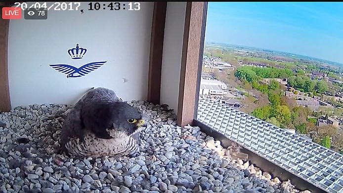 Trotse ouder op het nest met drie valkjes