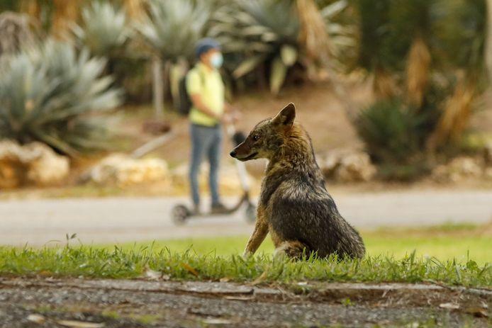 Een jakhals in een park in Tel Aviv.