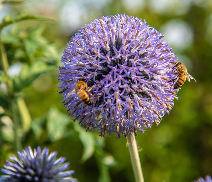 Zoemende bijen op het volkstuincomplex.