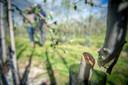 In de boomgaard van Bianca en Geert Aanholt zijn vorig jaar 350 fruitbomen vernield.