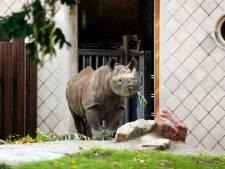 Schattig! Gluren in stal van zwangere zwarte neushoorn Naima in Diergaarde Blijdorp