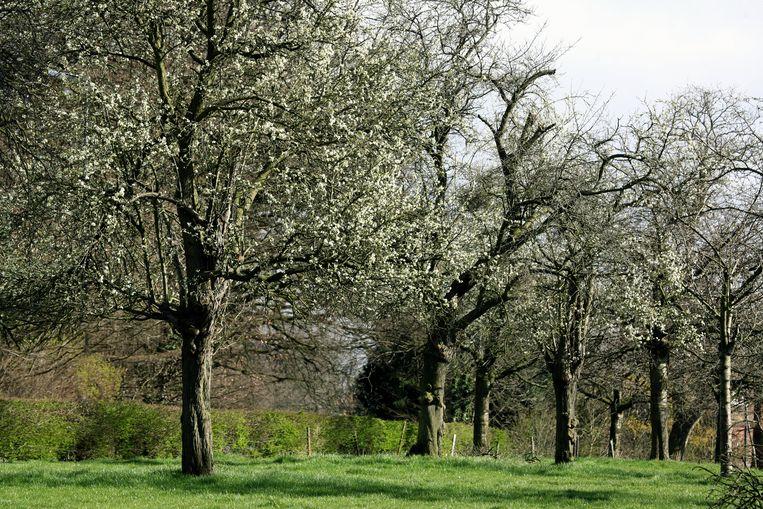 De prachtige bloesems in hoogstamboomgaarden dreigen tot het verleden te behoren