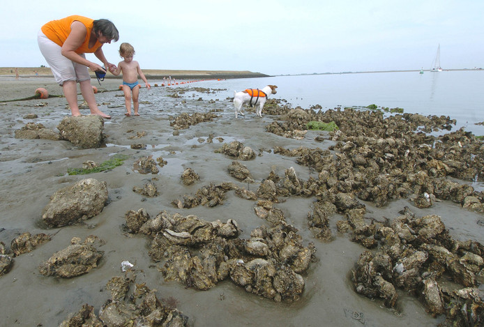 Oesters op strandje bij de Krabbenkreek.