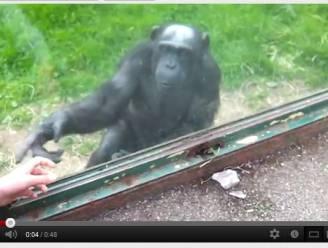Chimpansee vraagt hulp bij ontsnapping