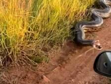 Un anaconda terrorise des automobilistes au Brésil
