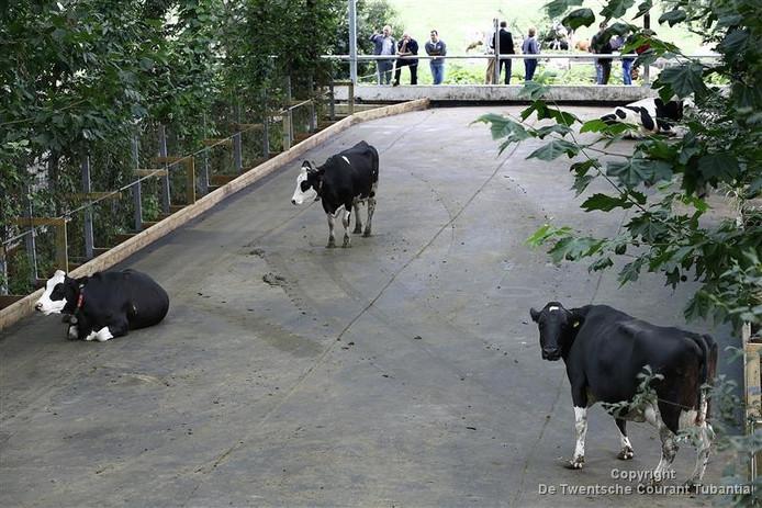 De koeien kunnen vrij rondlopen in de 'tuin'.