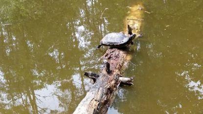 Schillie de schildpad verdwijnt uit vijver Meetshovenbos: Aarschotenaren maken zich zorgen op sociale media