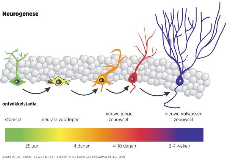 Schema van neurogenese, de vorming van nieuwe zenuwcellen in hippocampus. Uit stamcellen worden nieuwe zenuwcellen gevormd die niet alleen moeten groeien, maar ook een plek moeten veroveren in het bestaande netwerk van hersencellen. Beeld Louman & Friso