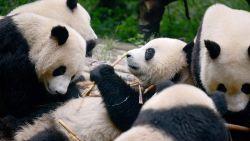 China plant gigantisch panda-natuurpark van 1,3 miljard euro
