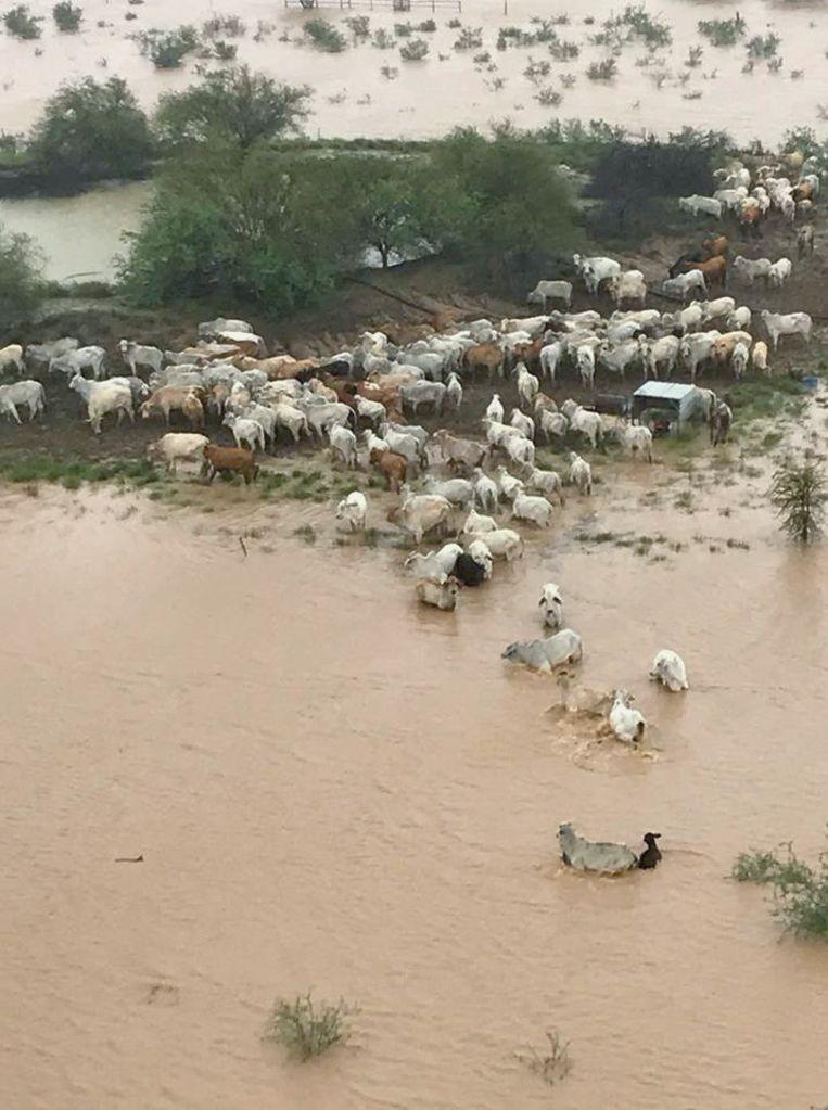 Duizenden koeien zijn nog gestrand op een stukje weide omgeven door water.