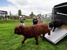 Werken geblazen voor Schotse Hooglanders in Roosendaal