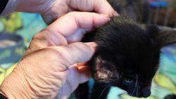 Dierenbeul takelt kat toe met mes in Gent: staart en oortje afgesneden