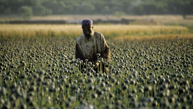 Een papaverveld in Afghanistan. Beeld