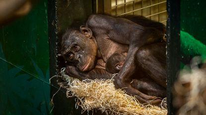 """ZOO Planckendael verwelkomt bonobobaby: """"Djanoa kwam hem fier tonen"""""""