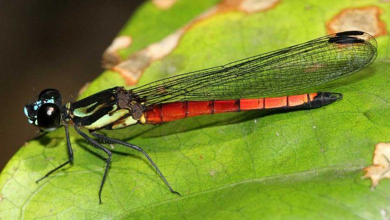 De rode vorm van de nieuwe juffersoort Africocypha varicolor of 'Polychrome Jewel'. Het mannetje heeft ook een blauwe en gele vorm, maar waartoe die verscheidenheid dient, weet niemand. Beeld André Günther