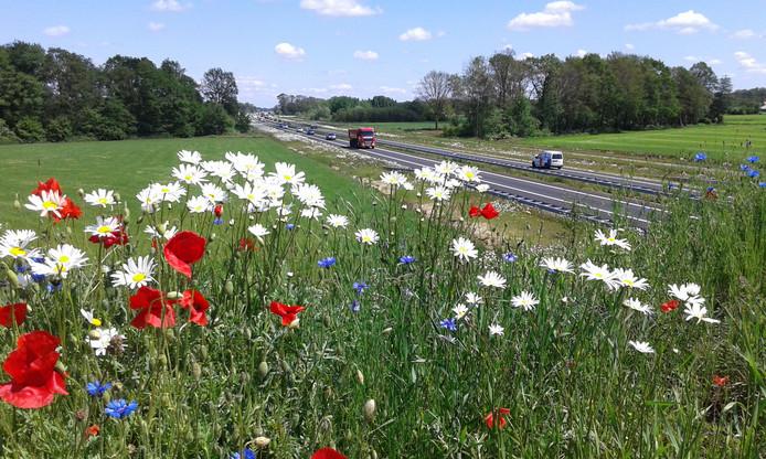 De wilde bloemen en het hoge gras langs de N18 ter hoogte van Eibergen hebben een groot nadeel: ze trekken hazen en reeën aan die vervolgens de weg opgaan, aldus jagers in het gebied.