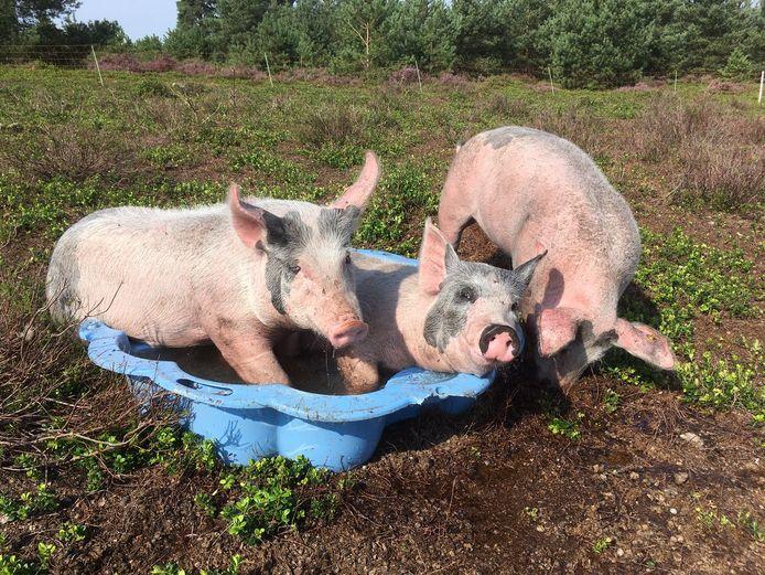 Een proef van Natuurmonumenten: wroetende varkens als alternatief voor machinaal plaggen. De dieren zochten tijdens de laatste hittegolf verkoeling in dit blauwe kinderbadje.