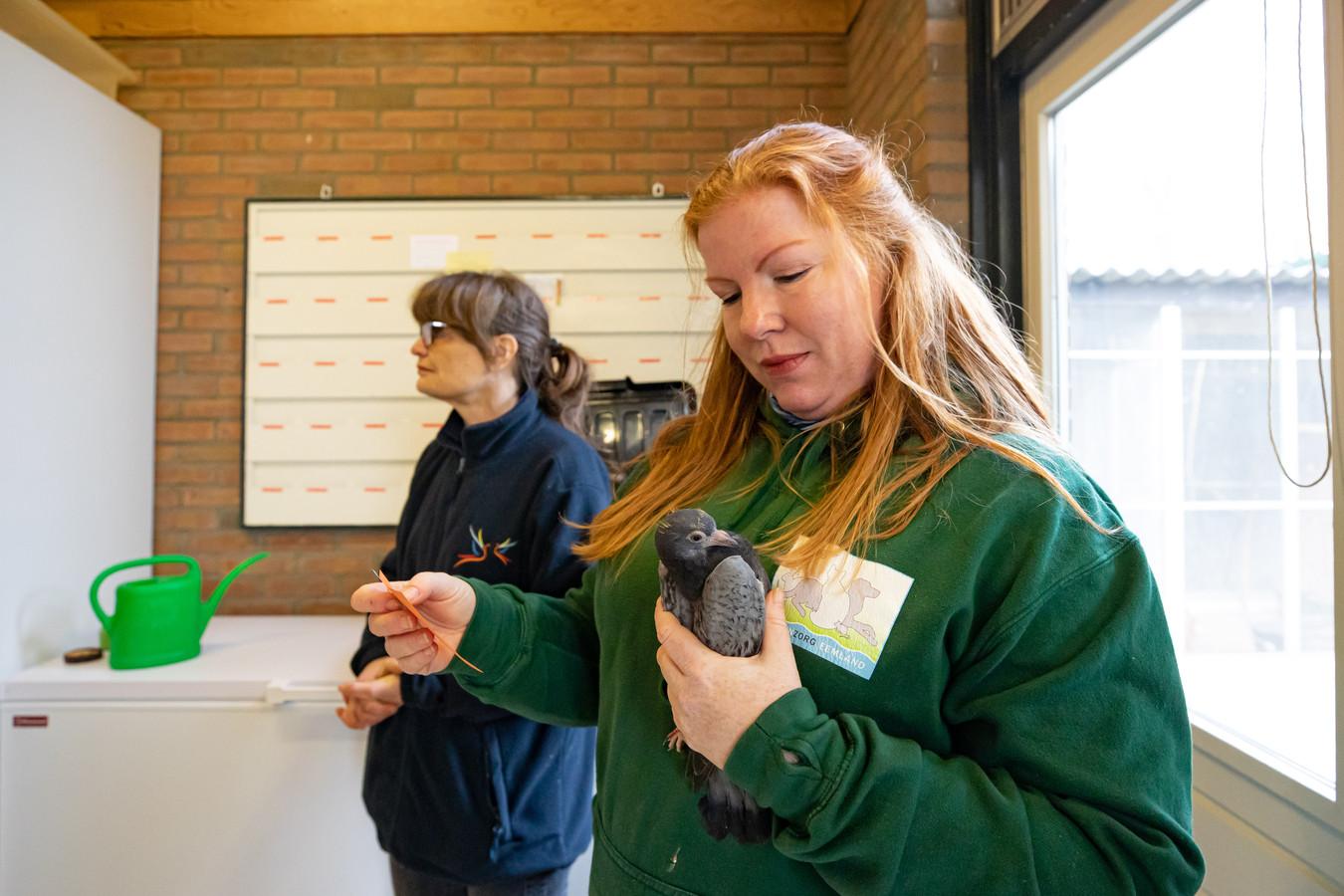 Barbara van 't Hoen bekijkt een binnengekomen duif in de Vogelopvang in Soest