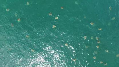 Verbluffende videobeelden tonen massabijeenkomst van schildpadden voor kust Costa Rica