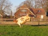 Koeiendans in Markelo: dieren genieten tijdens eerste dag in de wei