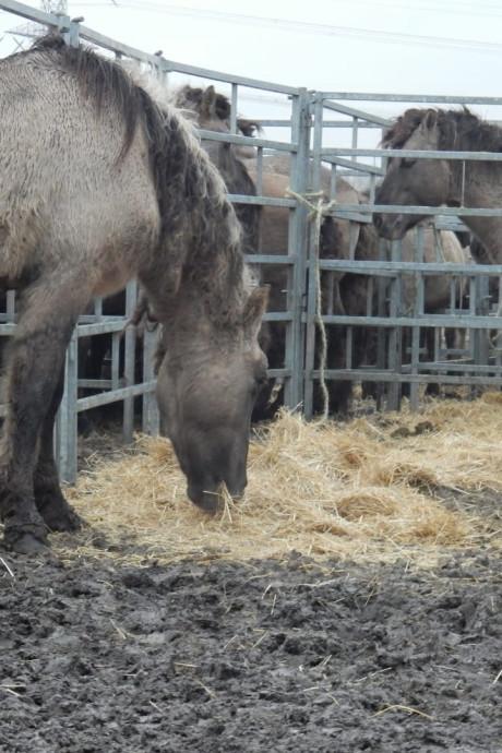 Groep konikpaarden verlaat Oostvaardersplassen: 'Ze waren verrassend rustig'