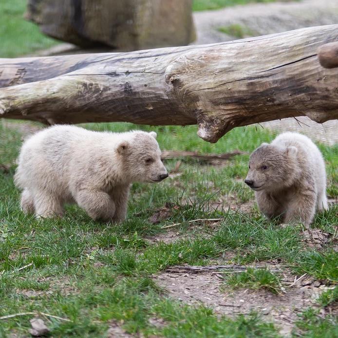 De jonge ijsbeertjes in Ouwehands Dierenpark.