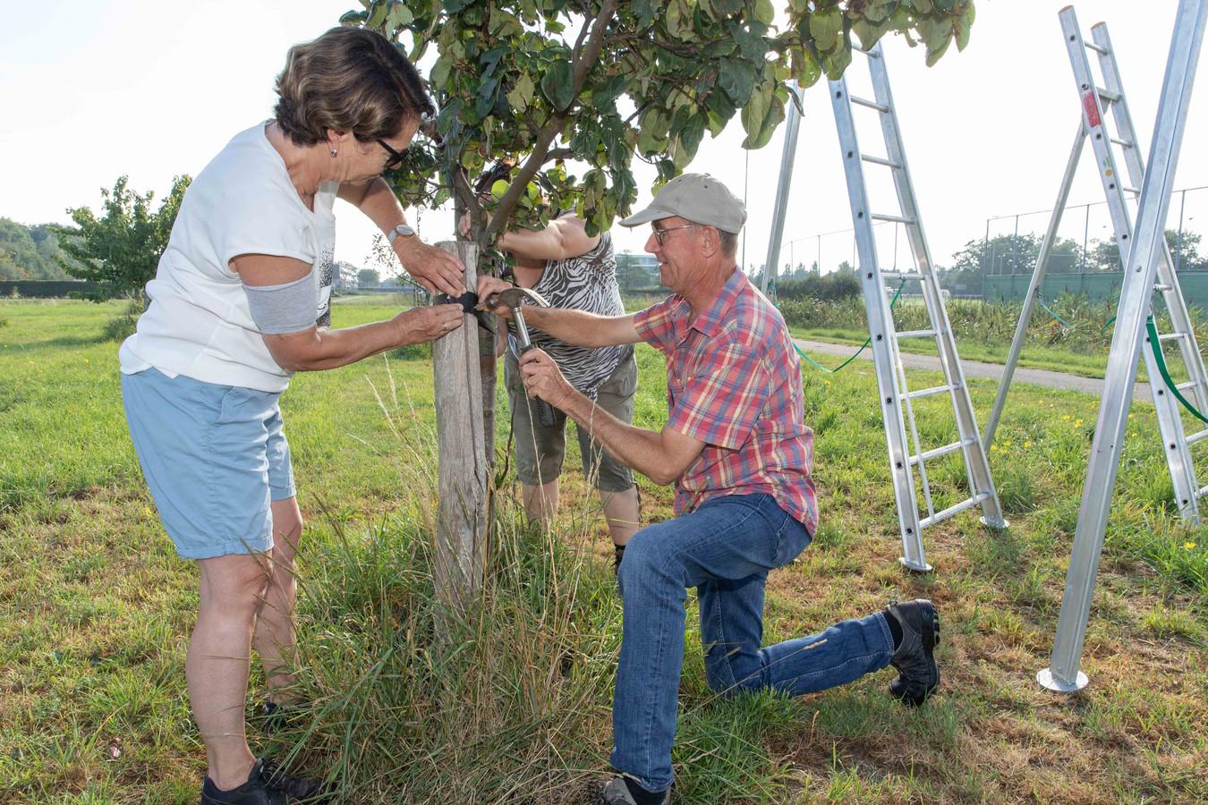 Marrie de Munck (links) en Kees Tonkensbevestigen een nieuwe band om een fruitboom. Achter de boom verleent Gwendal Uytdewilligen hand- en spandiensten.