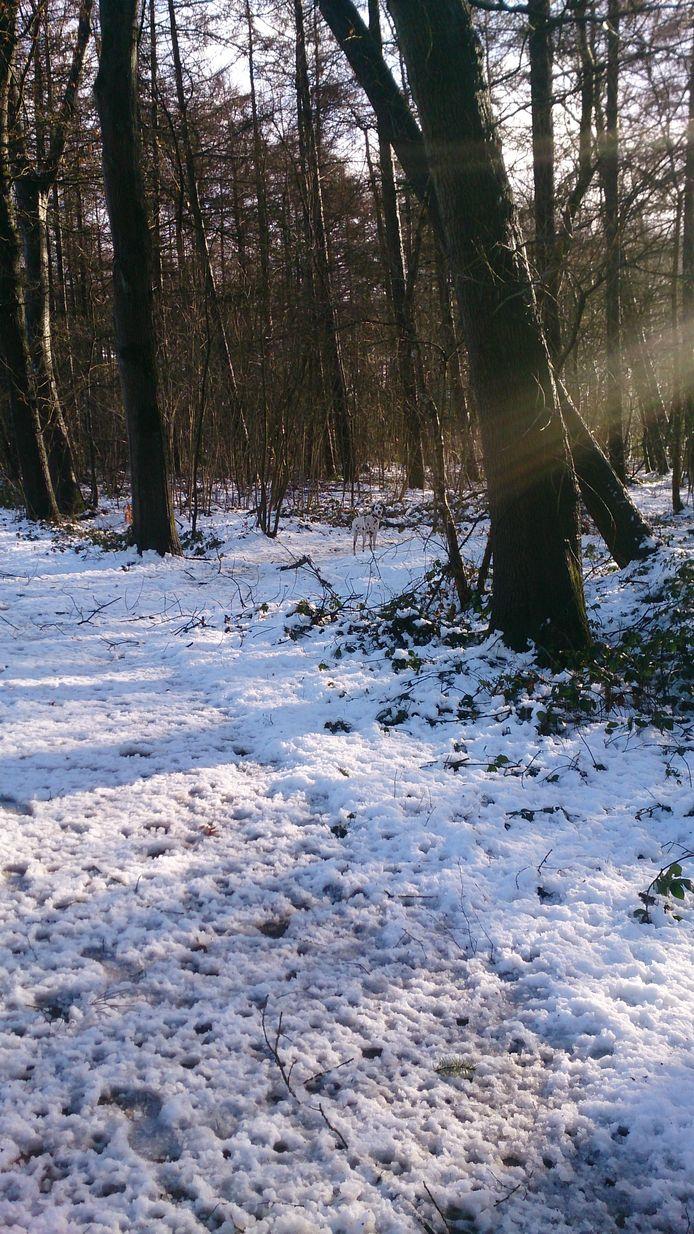 Zoekplaatje: dalmatiër met schutkleur in een besneeuwd bos in het buitengebied van Hengelo.