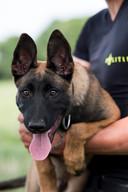 Politiepup Bouke, die wordt opgeleid tot diensthond.
