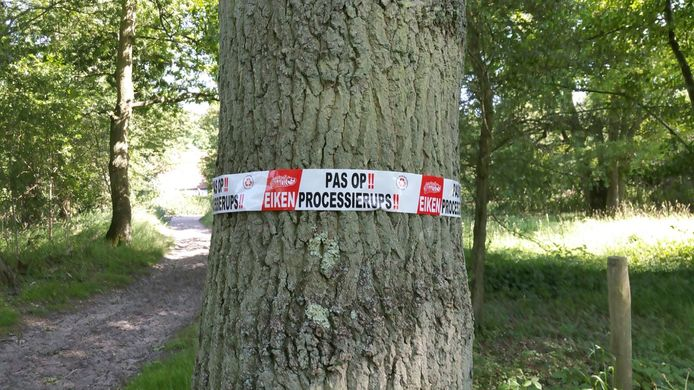 De gemeente Alblasserdam vraagt inwoners een melding te doen als zij de eikenprocessierups zien in een boom.