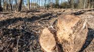 Burgemeester Harry Hendrickx misnoegd over boomkap Natuurpunt
