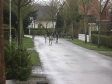 Roedel herten blokkeert verkeer in Renesse