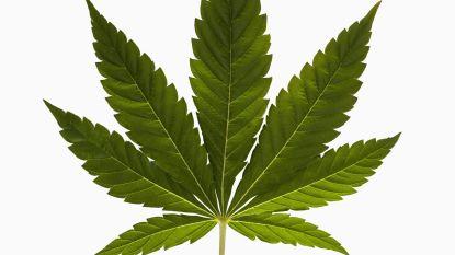 Dertiger kweekte cannabis om pijn te verlichten