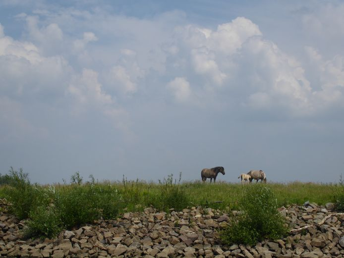 De konikpaarden in de Koornwaard.