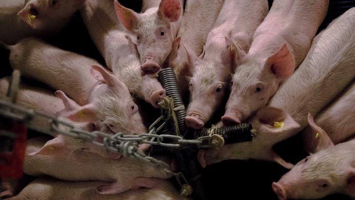 Meer dan 67.000 mensen hebben hun handtekening gezet onder een petitie van Stichting Varkens in Nood voor verandering in de varkenshouderij door accijns op vlees.