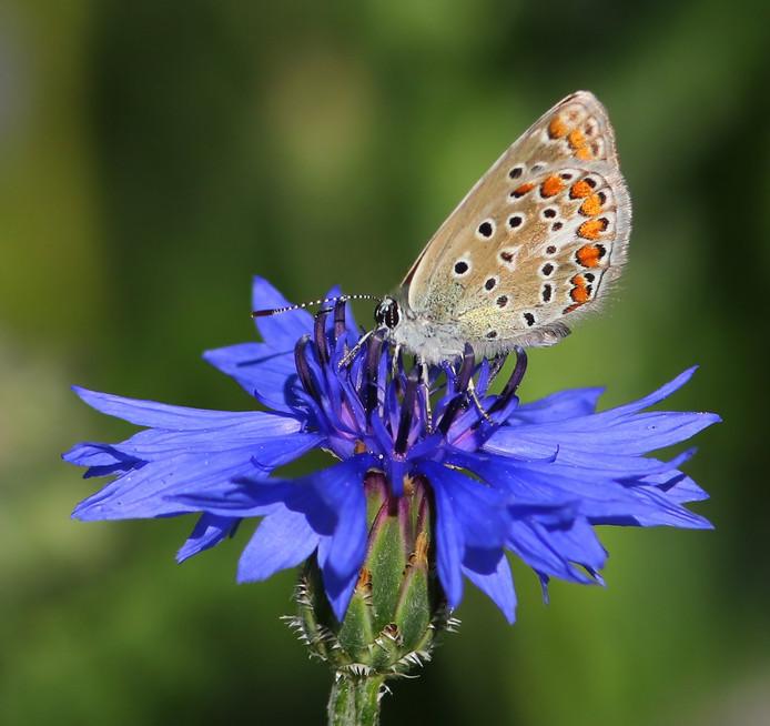 Een incarusblauwtje op een korenbloem