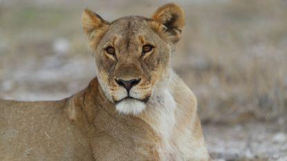 Leeuwin adopteert springbokje nadat haar welpen door dominant mannetje werden doodgebeten