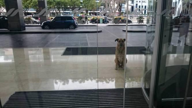 Vastberaden zwerfhond blijft maandenlang opduiken aan hotel van stewardess tot ze hem adopteert