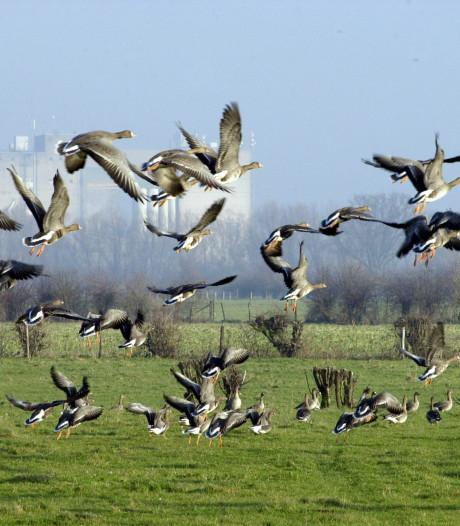 'Ganzen zorgen voor flinke schade aan gewassen in West-Twente'
