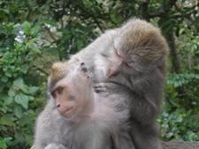 Gasten in Japans restaurant worden bediend door apen