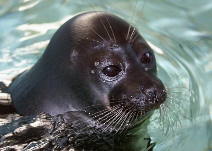 Een jonge Baikal-zeehond. (Archiefbeeld)