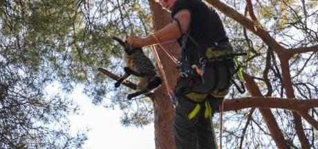 Brandweer krijgt kat Gino niet uit de boom in Ugchelen. Wanneer dat een boomverzorger wel lukt neemt Gino alsnog de benen