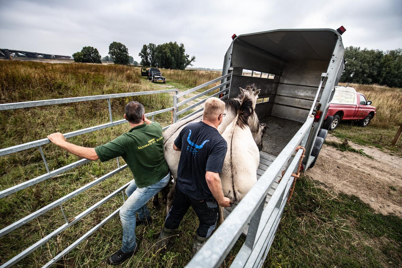 De twee konikpaarden worden op transport gezet naar de Noordwaard in de Biesbosch.