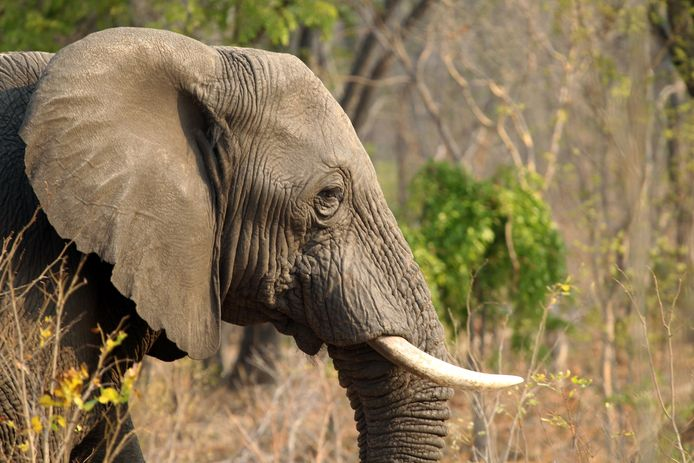Een olifant in het Hwange National Park in Zimbabwe.