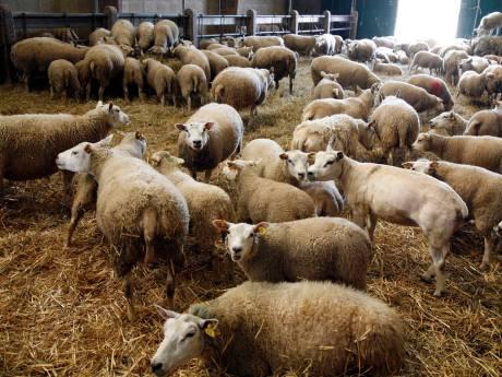 Faillissement krijgt Zevenhovense schapenhouder niet klein: Peter Koot knokt voor doorstart
