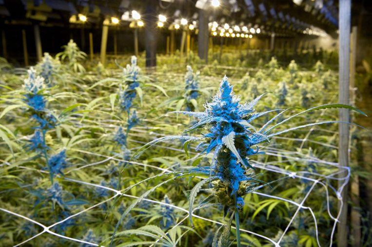 Archiefbeeld van een grote cannabisplantage ter illustratie.